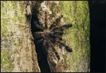 After nightfall, an arboreal tarantula (Cyriopagopus sp.) waits outside of its tree-hole home for unsuspecting insects to venture within reach.