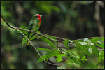 The beautiful Red-bearded Bee-eater (Nycyornis amictus) can be found frequently in the forest and clearings around the Resort.  It actively hunts for insects, capturing them in flight.  Nearly 250 species of birds have been recorded from the Lambir Hills National Park area.